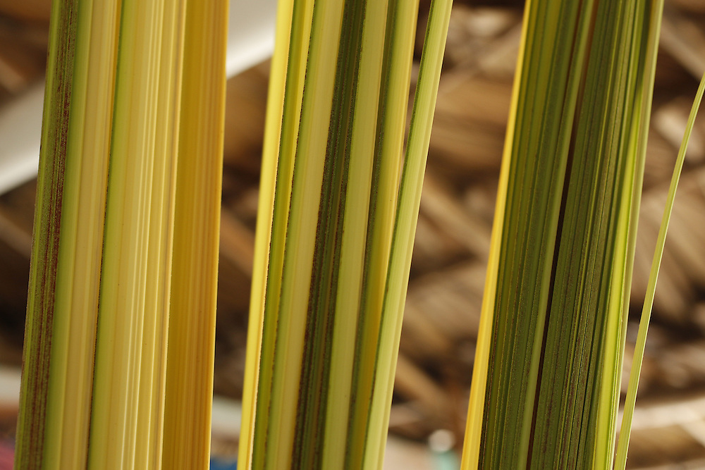 Barreirinhas_MA, Brasil.<br /> <br /> Processo de fabricao de artesanato de buriti no povoado de Marcelino. Na foto, detalhe da extracao da fibra tirada do Olho, tirado da palmeira, materia prima do artesanato.<br /> <br /> The manufacture of handicrafts process in the Buriti Marcelino Village. In the photo, detail extraction of the fiber taken from the eye, taken from palm, raw material of the craft.<br /> <br /> Foto: LEO DRUMOND / NITRO