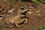 Asian Black-spectacled or Common toad, Duttaphrynus melanostictus, Eluanbi park, Kenting National Park, Taiwan