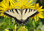 Eastern Tiger Swallowtail Butterfly On A Compass Flower, Papilio glaucus Linnaeus