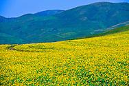 Sunflowers in NE Kazakhstan, Ust-Kamenogorsk region.