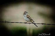 Lark sparrow captured at Maxwell National Wildlife Refuge, New Mexico in May 2019