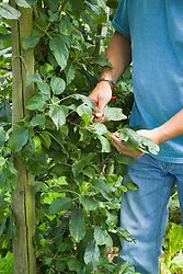 Pruning a compact apple cordon