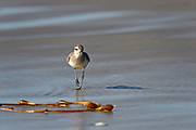 Bird photography on Morro Strand State Beach, CA