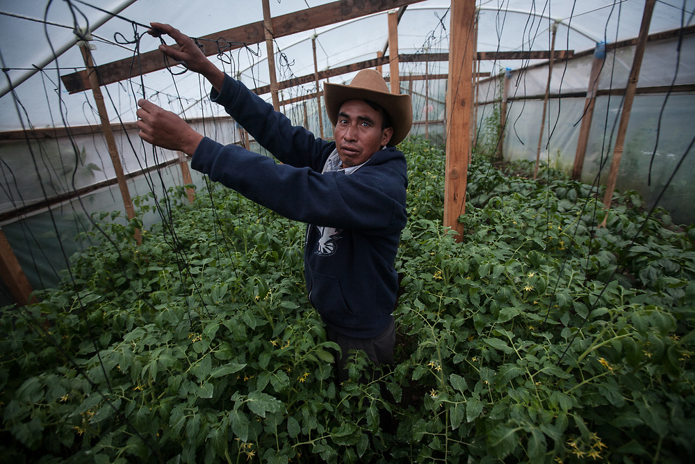 Juan López García tends tomatoes in a community greenhouse in Toj Mech village in the indigenous highlands of Guatemala. Villagers here increased their food production by using greenhouses and irrigation.