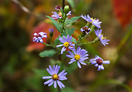 Smooth Aster (Symphyotrichum laeve) wildflowers against red autumn leaves in Spruce Woods Provincial Park, Manitoba