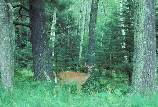 Whitetail Deer, (Odocoileus virginianus) Doe at edge of old growth forest.