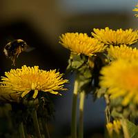 Icelandic Bumblebees
