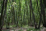 View of woodland, forest, Jurilovca area and Valea Morilor in Ciucurova Forest, Romania