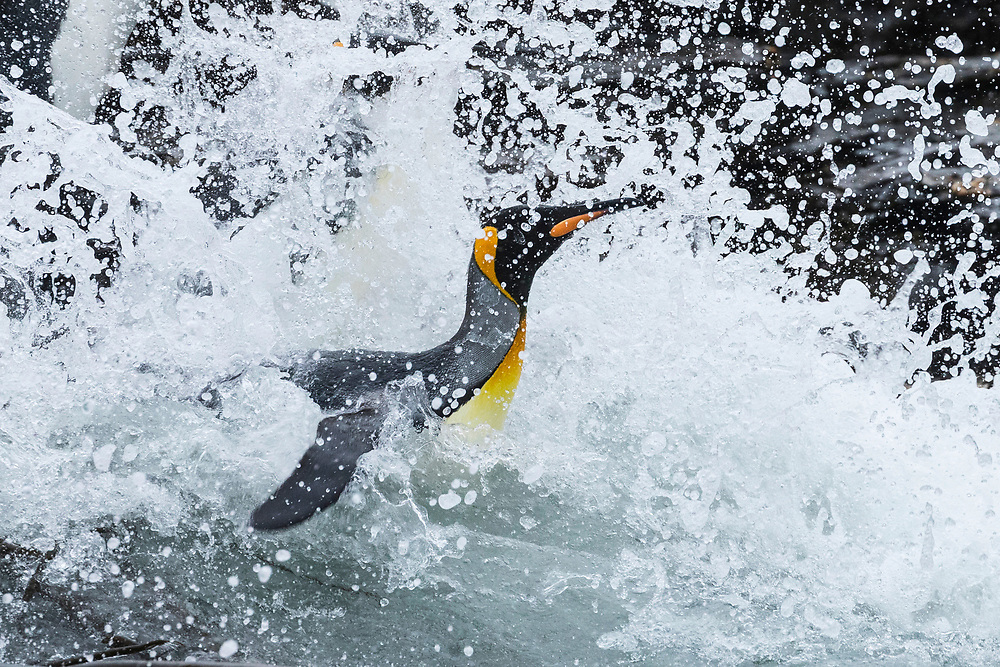 King penguin dives into the water on Friday, Feb. 2, 2018 in St. Andrew's Bay, South Georgia. (Photo by Ric Tapia)