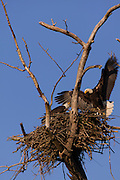 A bald eagle (Haliaeetus leucocephalus) lands on the nest in Puyallup, Washington, where its mate is watching over their young. Both the male and the female bald eagle take turns on the nest.