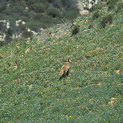 A coyote runs for cover as members of West Hills Hunt, a English style fox hunting club, give pursuit.