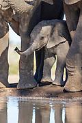 African Elephant<br /> Loxodonta africana<br /> Calf under mother at waterhole<br /> Mashatu Game Reserve, Botswana