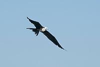 Immature magnificent frigatebird, Fregata magnificens, near the mouth of the Tarcoles River, Costa Rica