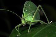 Leaf Katydid, Tettigoniidae sp., Manu, Peru, camouflaged on leaf, green, jungle, portrait, long antennae, face and mouth parts, cryptic. .South America....