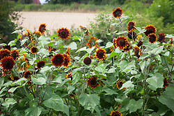 Helianthus annuus 'Ring of Fire'. Sunflowers