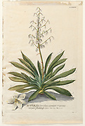 Coloured Copperplate engraving of a flowering Yucca plant from hortus nitidissimus by Christoph Jakob Trew (Nuremberg 1750-1792)