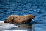 Walrus, Odobenus rosmarus, Kane Basin, Nares Strait, Greenland.