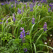 Lupine Field with rain drizzle in Lake Clark National Park, Alaska.