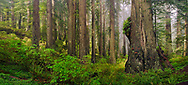 Panoramic of Redwood forest and fog, Redwood National and State Parks, Del Norte County California