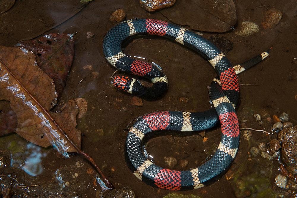 Surinam Coral Snake (Micrurus surinamensis)<br /> Amazon<br /> ECUADOR<br /> Vivarium ID # 3689<br /> Captive