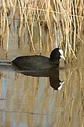 European coot, Fulica atra, Stodmarsh National Nature Reserve, UK, swimming, open water, reedbed, adult, winter