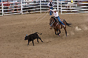 A rodeo event of roping a young calf from horseback.