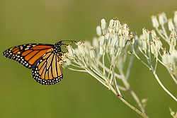 Monarch butterfly on Ovateleaf cacalia on Blackland Prairie, High Point Park and Wildflower Preserve, Farmersville, Texas, USA. Check identification.