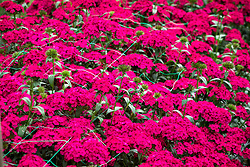 Dianthus barbatus - Sweet william - supported by plastic netting.