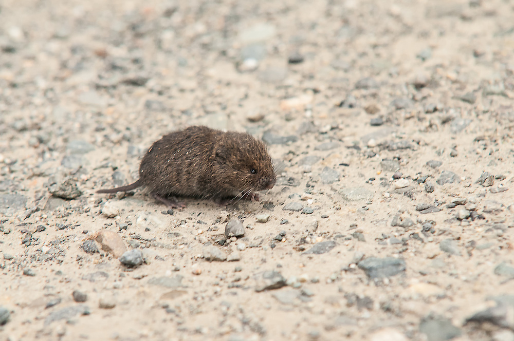 This tiny Townsend's vole made the risky dash across an unpaved forest road in the deep forest of North Cascades National Park in Washington State near the Canadian border just as I happened to be passing by.