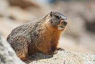 Yellow-bellied Marmot, Marmota flaviventris
