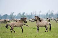 Konik horse, stallions squaring up ready to fight. Oostvaardersplassen, Netherlands. Mission: Oostervaardersplassen, Netherlands, June 2009.