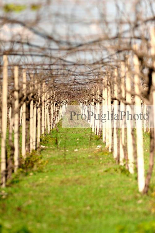 Un tendone abbandonato nella periferia di San Pancrazio Sal. Anche se abbandonato, non coltivato e curato da un contadino continua anno dopo anno a produrre uva. Il vigneto si trova a San Pancrazio Salentino in provincia di Brindisi.
