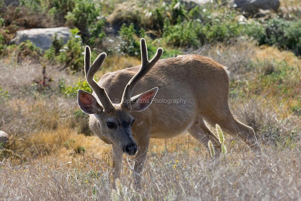 Mule Deer Buck, Pebble Beach CA