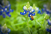 Bee and bluebonnet, Terry Hershey Park, Houston, Texas. Full page inside back cover, spring 2014, Texas Highways Magazine
