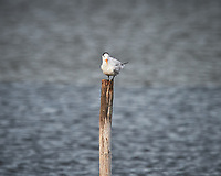 Royal Tern perched on a post.  Biolab Road, Merritt Island National Wildlife Refuge. Image taken with a Nikon D4 camera and 600 mm f/4 VR lens (ISO 220, 600 mm, f/5.6, 1/1250 sec).