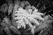 Leaf in rain forest, Hilo, Hawaii.