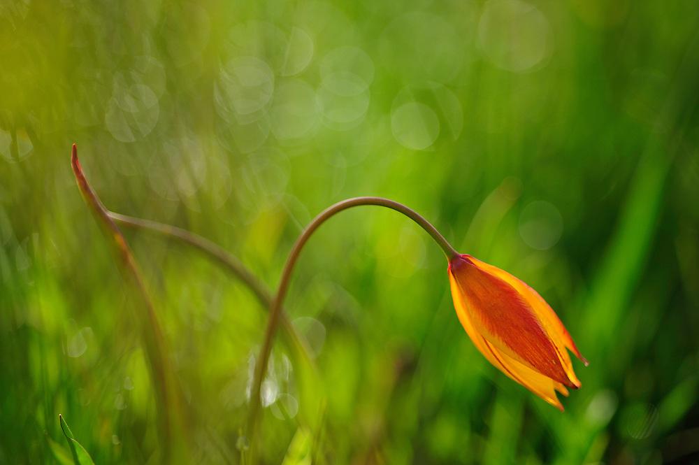 Southern Tulip (Tulipa australis), Piano Grande/Sibillini National Park, Italy; WWoE Mission