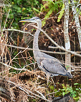 Great Blue Heron (Ardea herodias). Clyde Butcher Swamp Bungalow. Image taken with a Nikon D4 camera and 80-400 mm VRII lens.