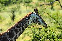 Giraffe. Hluhluwe-Umfolozi Game Reserve, South Africa.