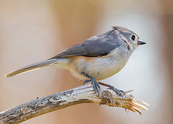 Mr. Titmouse Perched On A Branch