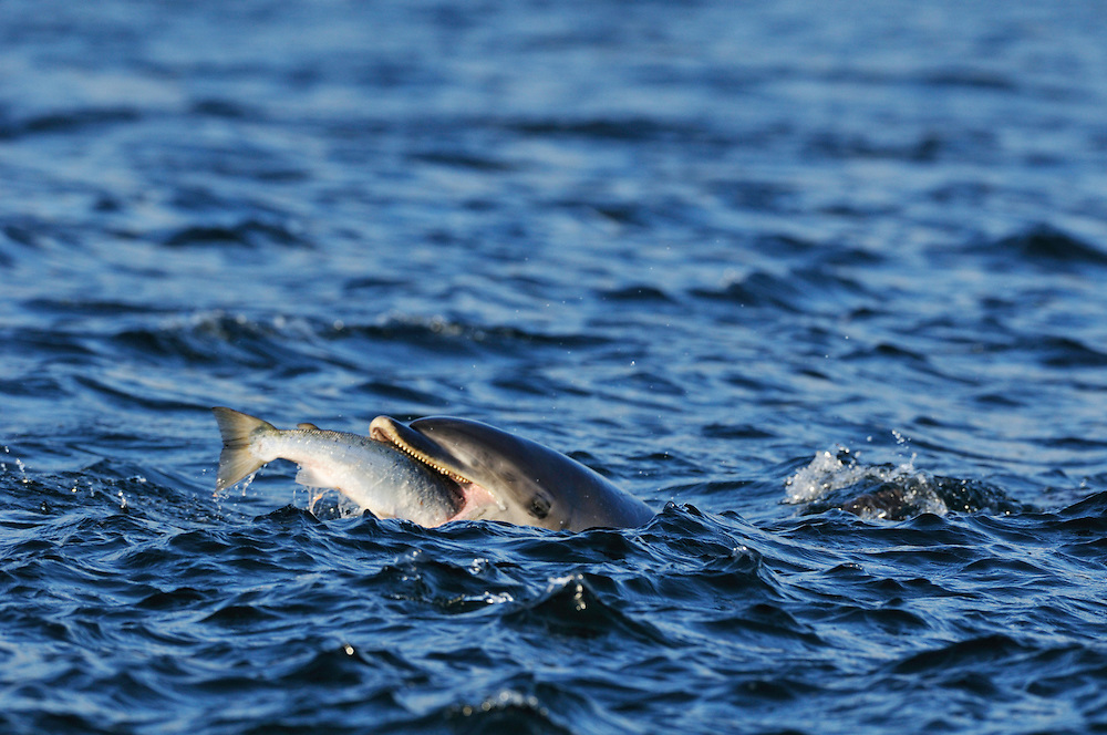 Adult Bottle-nosed Dolphin feeding on salmon,<br /> Tursiops truncatus,<br /> Moray Firth, Nr Inverness, Scotland - July