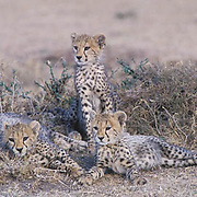 Cheetah, (Acinonyx jubatus) Portrait of cubs resting. Masai Mara Game Reserve. Kenya. Africa.