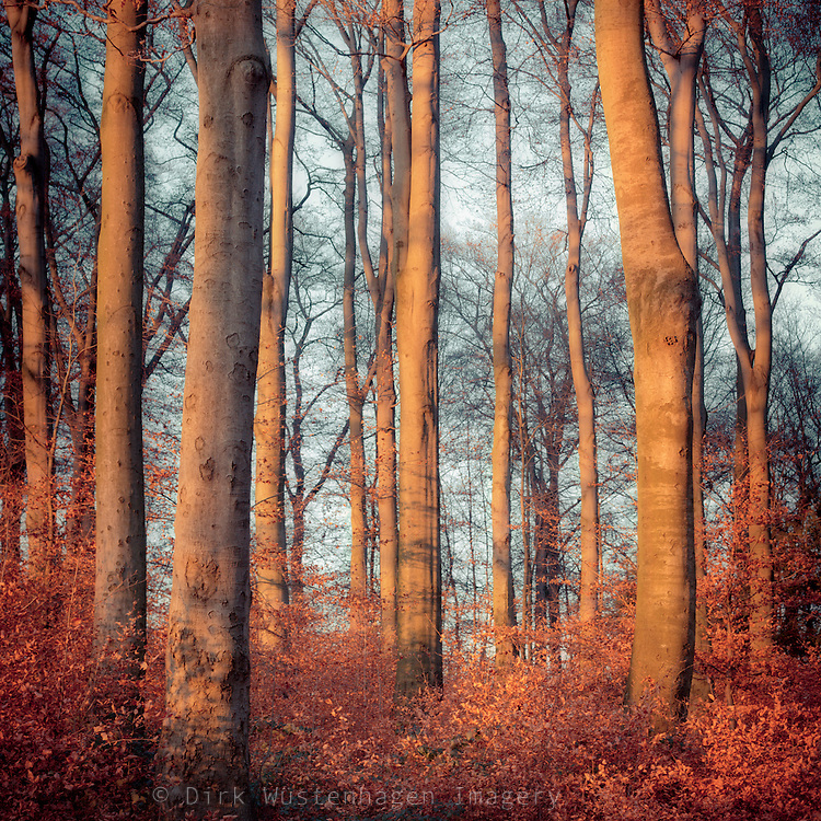 Beech tree in autumnal afternoon light.<br /> <br /> Prints & more: http://society6.com/product/autumn-glow-GdY_Print