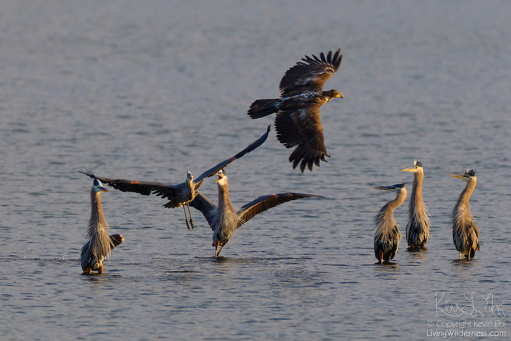 A juvenile bald eagle (Haliaeetus leucocephalus) harasses several great blue herons (Ardea herodias) in an attempt to steal any fish they catch in Hood Canal near Seabeck, Washington. During the early summer, bald eagles and great blue herons flock to the area near Big Beef Creek in great numbers to feed on fish trapped in oyster beds during low tides.