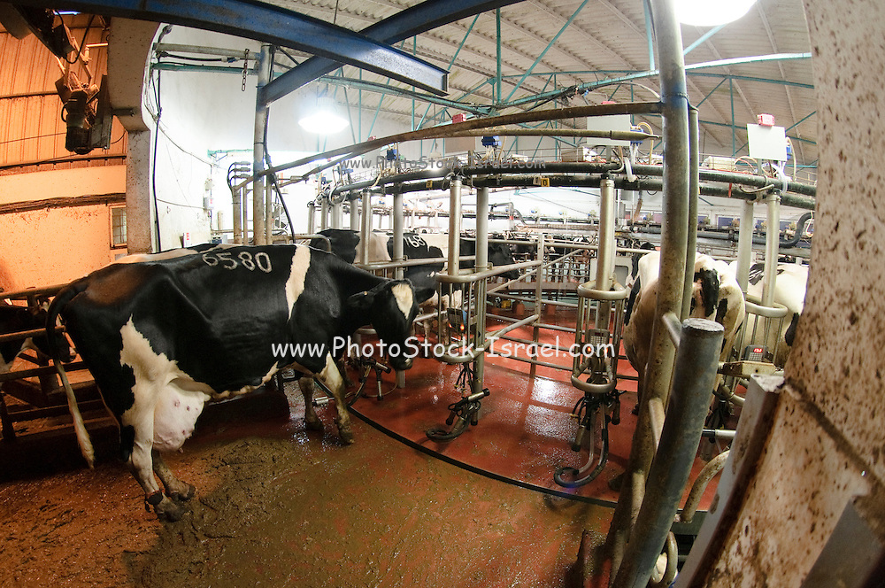 Cows at a Dairy farm. Automatic milking machine. Photographed in Israel in Kibbutz Maagan Michael