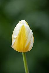 Tulipa 'Lemon Chiffon syn. 'Yellow Chiffon'