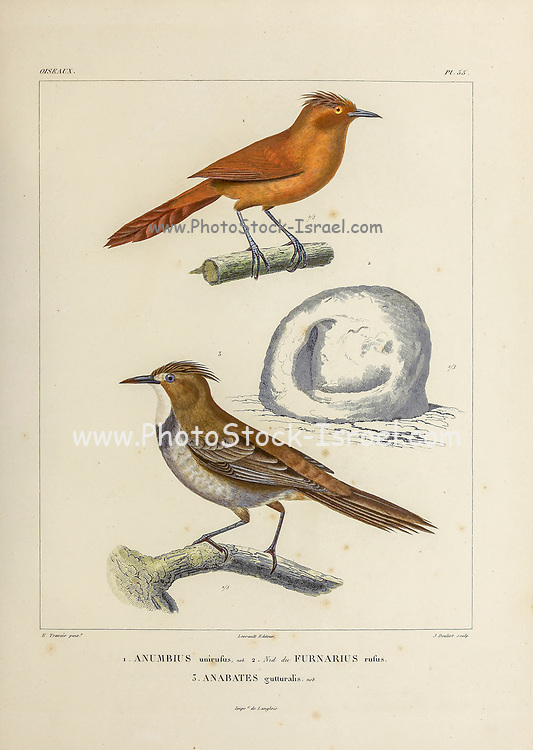 hand coloured sketch Top: grey-crested cacholote (Pseudoseisura unirufa [Here as Anumbius unirufus]) Bottom: white-throated cacholote (Pseudoseisura gutturalis [Here as Anabates guttralis]) From the book 'Voyage dans l'Amérique Méridionale' [Journey to South America: (Brazil, the eastern republic of Uruguay, the Argentine Republic, Patagonia, the republic of Chile, the republic of Bolivia, the republic of Peru), executed during the years 1826 - 1833] 4th volume Part 3 By: Orbigny, Alcide Dessalines d', d'Orbigny, 1802-1857; Montagne, Jean François Camille, 1784-1866; Martius, Karl Friedrich Philipp von, 1794-1868 Published Paris :Chez Pitois-Levrault et c.e ... ;1835-1847