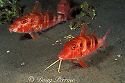 spotted goatfish or red goatfish, Pseudupeneus maculatus, using barbels to probe for food in sand, Commonwealth of Dominica ( Western Caribbean Sea )