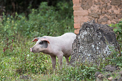 Pig With Ear Tag