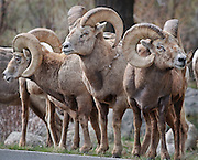 A group of bighorn rams, (Ovis canadensis) waits to cross the road near Sheep Lakes in Rocky <br /> Mountain National Park, Colorado